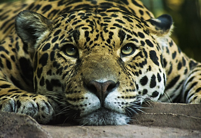 Jaguar(4may17) (4)