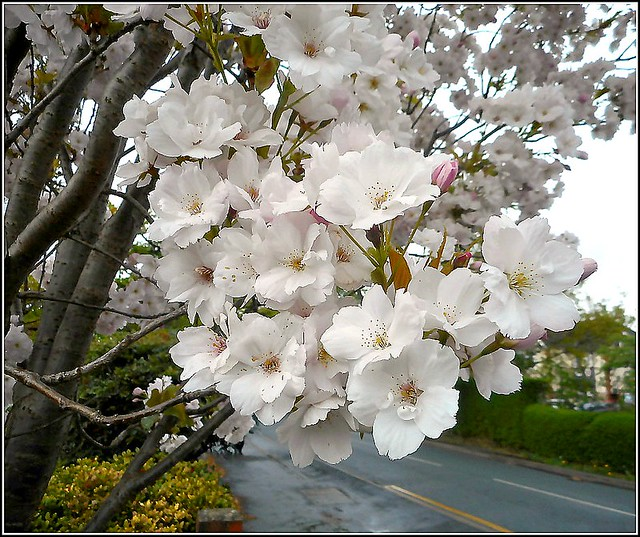 White Blossom ..