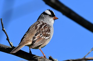 White-crowned Sparrow- Male