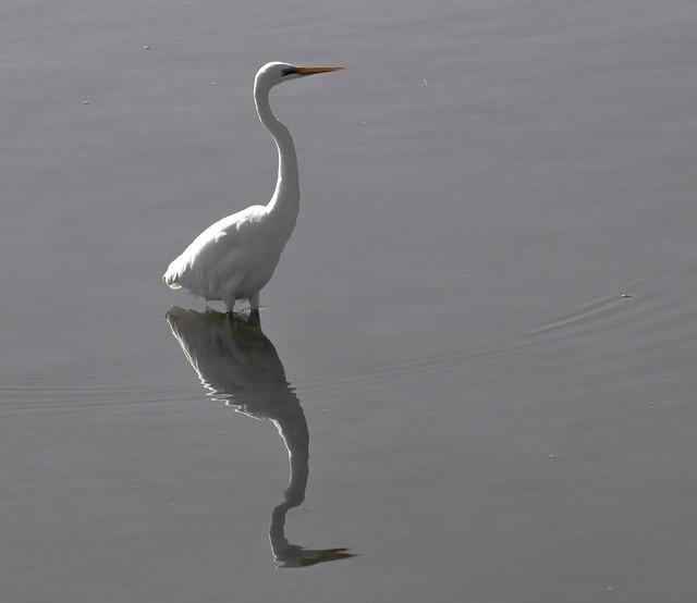 Eastern Great Egret, Hastings Victoria.