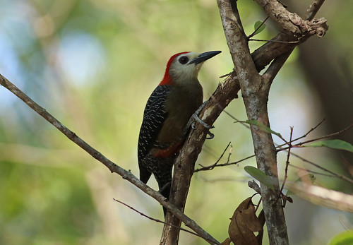Jamaican Woodpecker, Runaway Bay, Jamaica, February 2017 | by Sterna999