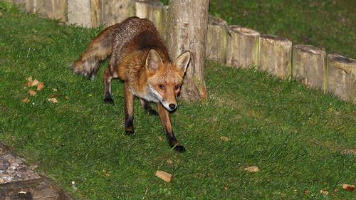 fox nikond810 nikon70200mmf28ii wildlifecafe sussexwildlifetrust