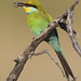 Abejaruco Golondrina - Photo (c) Derek Keats, algunos derechos reservados (CC BY)