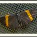 Mariposa Marcas de Metal de Banda Dorada - Photo (c) Jose Amorin, algunos derechos reservados (CC BY-NC-ND)