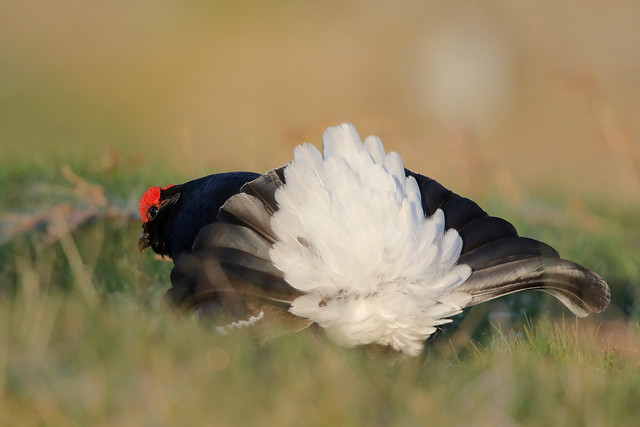 9P1A1284 Black Grouse (Wales)