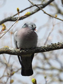 Columba oenas - Stock Dove | by pihlaviita