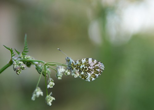 butterfliespieridae smog2017
