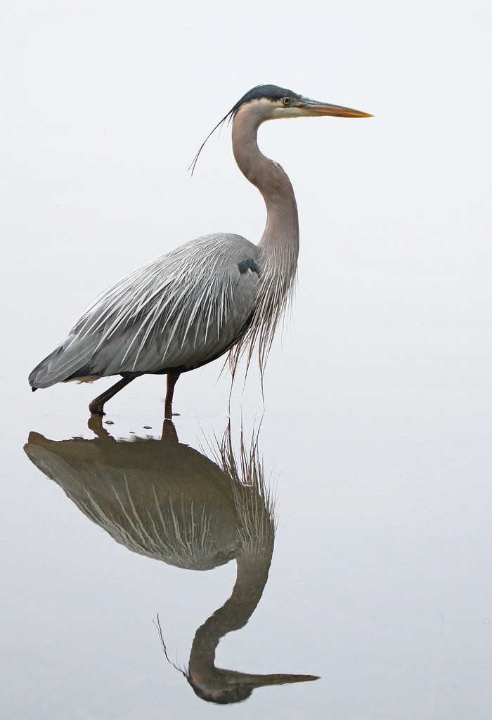 In Explore... Great blue heron
