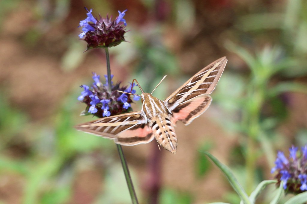 White Lined Sphinx