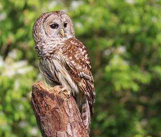 raptorinc-Barred Owl