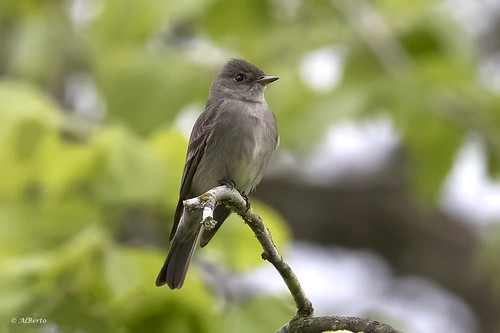Western Wood-Pewee | by shimmer5641
