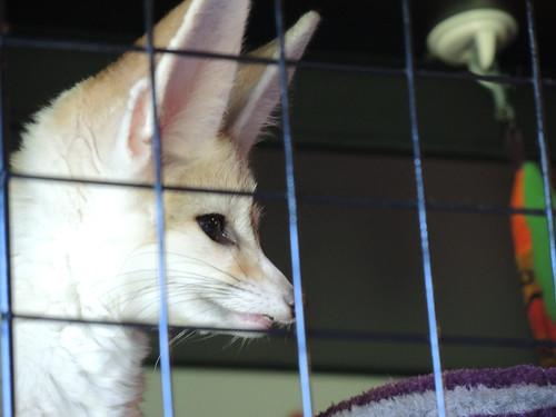 Fennec Fox Tasting the Air | by TamanduaGirl