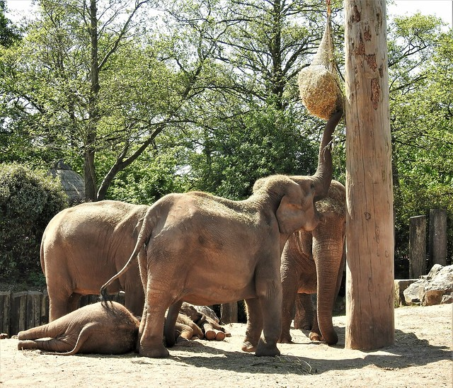 High Tea - Elephants at Chester Zoo