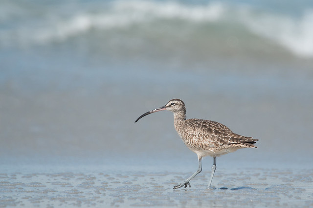 Whimbrel & Wave