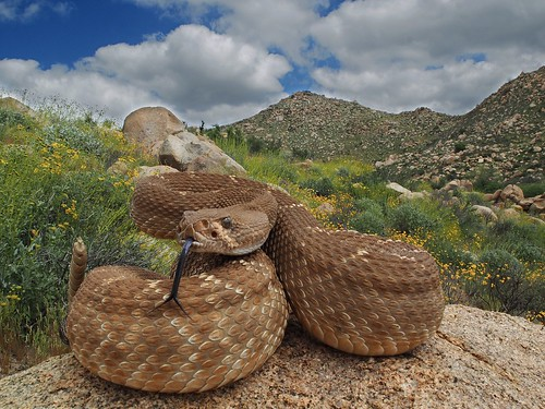 Red Diamond Rattlesnake (Crotalus ruber) | by NicholasHess
