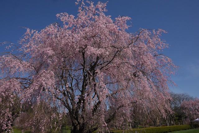 金, 2017-04-14 15:37 - New York Botanical Garden (Bronx)