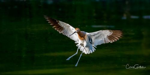 hendersonbirdviewingpreserve2017 avocet bif flying bird avian animal nature wildlife nikon d500