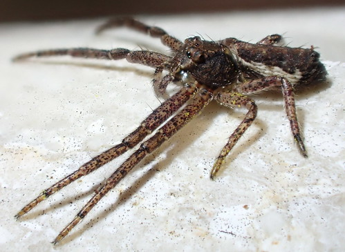 thomisidae ♀ araneae spider tmarus tmarusstellio thomisinae tmarini arachnida arthropoda animalia