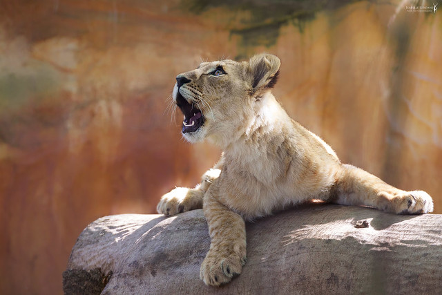 Skies full of wonders | Berberlöwenkind - barbary lion cub ( Panthera leo leo )
