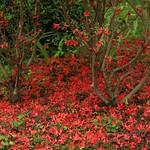 霧島躑躅の絨毯@三千院 霧島躑躅は晴れが続いたまま枯れると、木についたままクシャクシャになりますが、散りかけた頃に強い雨が降ると、瑞々しさを保ったまま落花します。珍しい光景でした。