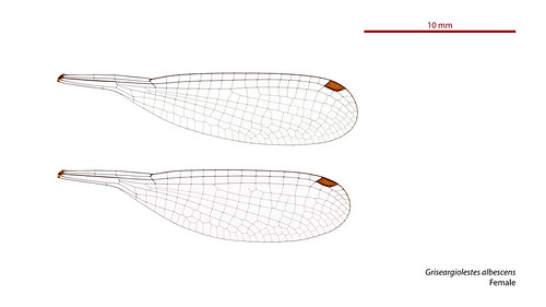 taxonomy:order=odonata wings hindwing zygoptera geo:country=australia australia megapodagrionidae albescens forewing griseargiolestesalbescens taxonomy:binomial=griseargiolestesalbescens australianmuseum dragonfly damselfly taxonomy:family=megapodagrionidae coastalflatwing odonata griseargiolestes