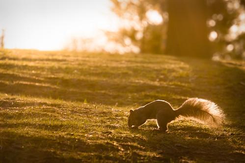 sel55210 sonynex6 squirrel sunrise orange goldenhour wildlife animal toronto ontario canada highpark