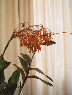 Epidendrum embreei | by lkchan