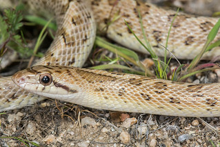 Mojave Glossy Snake | by Jeremy Wright Photography