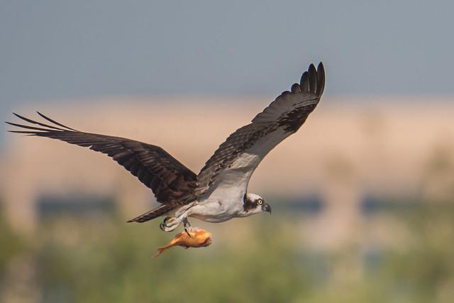 Osprey with fish (魚鷹)
