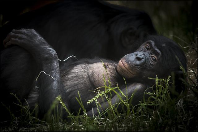 Bonobo resting 2