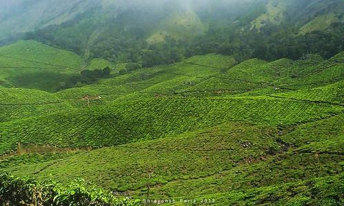 green tea plantation lush mountains hills dull stormy fog mist