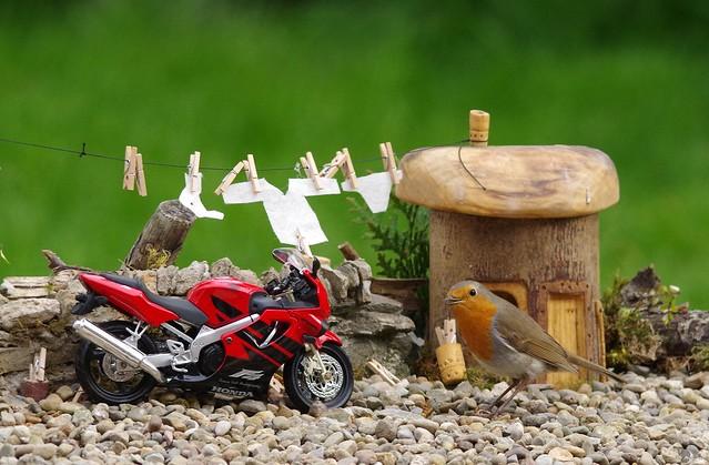 Robin bird standing next to motorcycle  honda cbr f4. (19076)