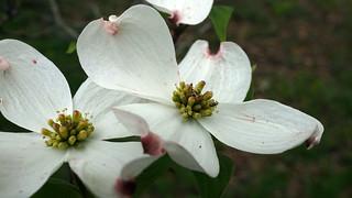 Cornus florida (Flowering Dogwood) | by Plant Image Library