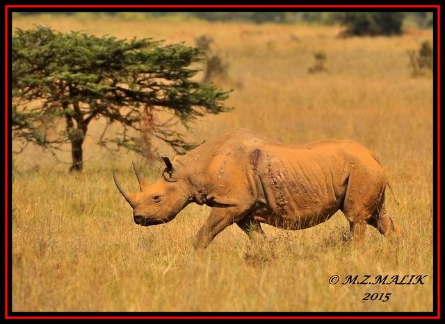 BLACK RHINOCEROS (Diceros bicornis)......NAIROBI NAT.PARK......SEPT,2015