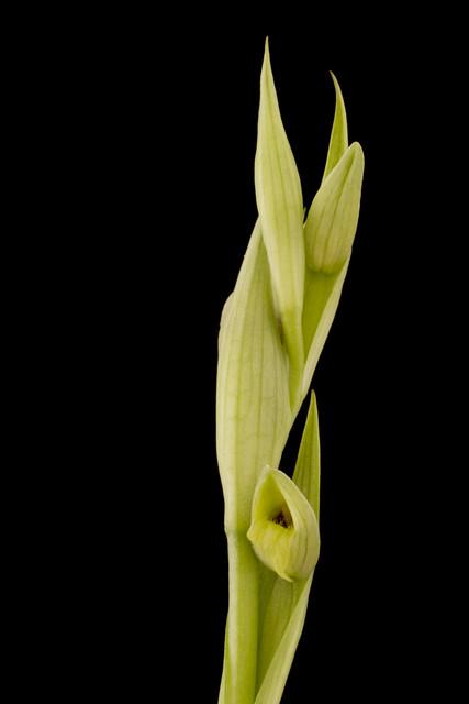 Serapias parviflora Alba