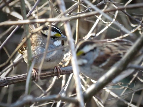 White-throated Sparrows | by Justin Lee (NoNameKey)