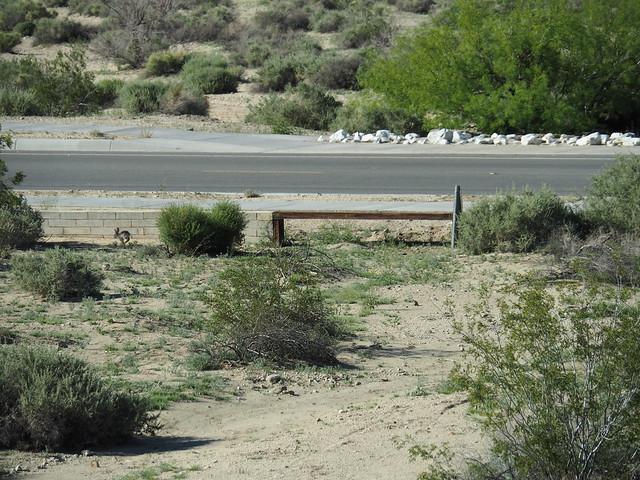 Q3246403 Joshua Tree Visitor center Oasis of Mara rabbit near road