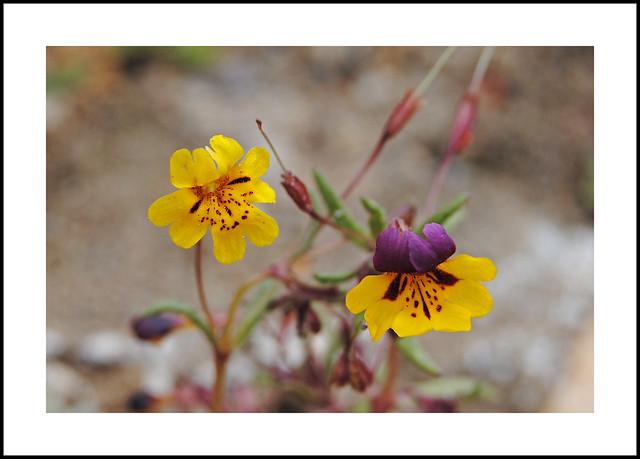 Kennedy Meadows Wildflowers