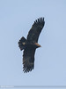 Greater Spotted Eagle (Clanga clanga) by gilgit2