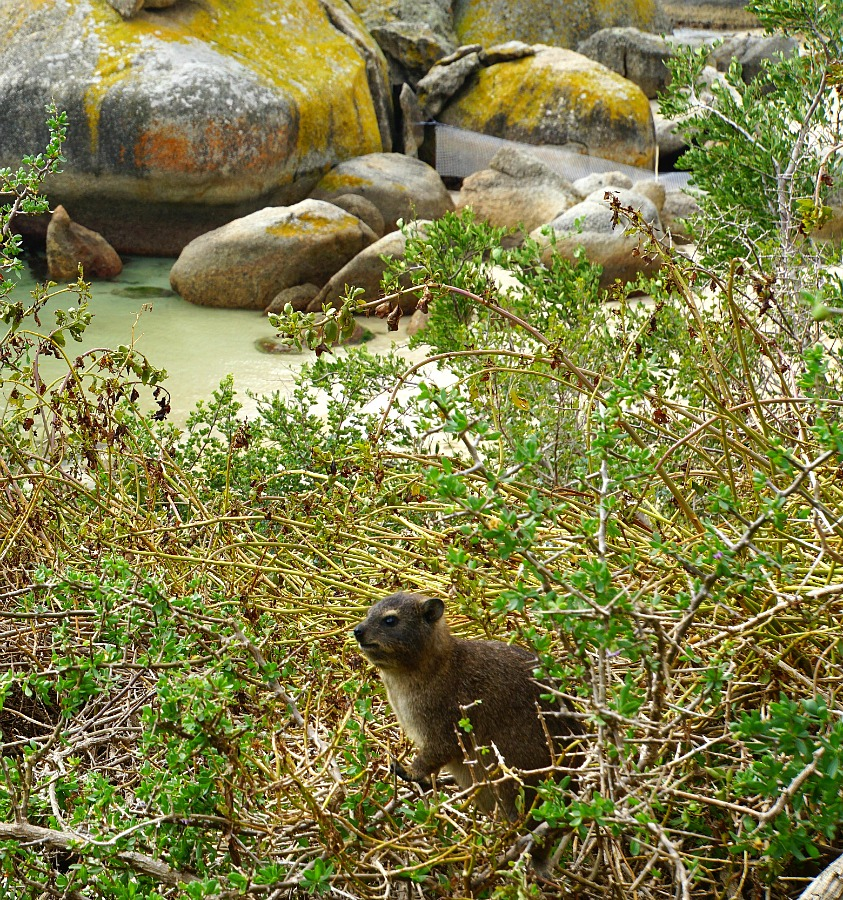 Cape Town Rock Hyrax