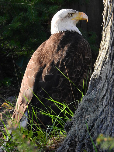 april 21 2017 18:58 - possibly injured Eagle | by boonibarb