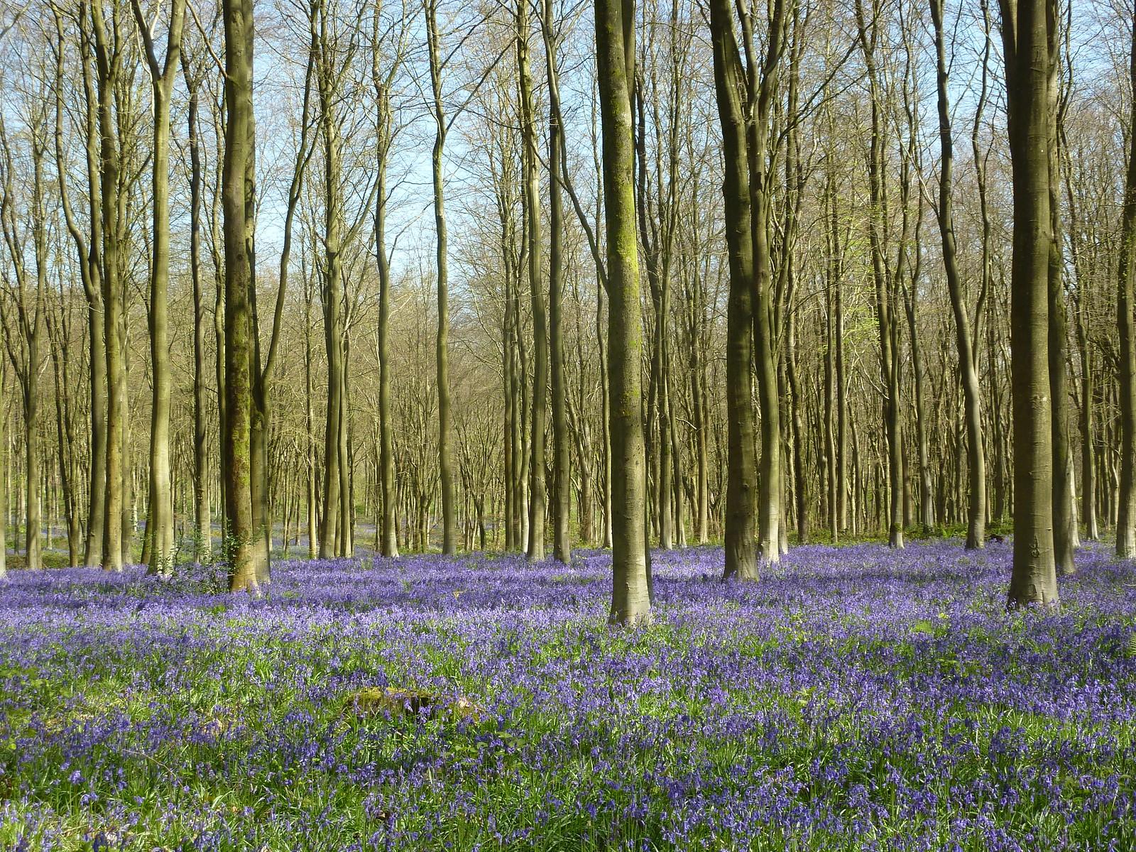 West Woods Bluebells