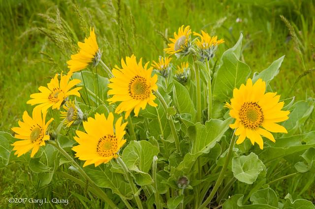 Balsamroot Flowers, Tom McCall Preserve