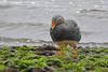 Flightless Steamer-duck -Quetru no volador (Tachyeres pteneres) Caulín, Chiloé Island, Chile 2017 by Ricardo Bitran