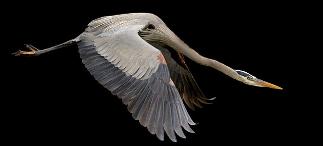 Great blue heron fly away