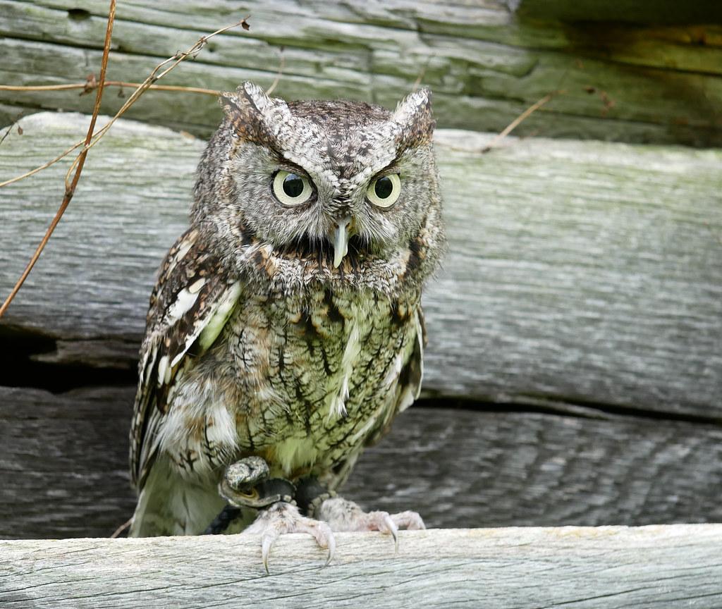 screech owl 8