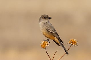 Say's Phoebe (Sayornis saya) (sp. # 170) | by SharifUddin59
