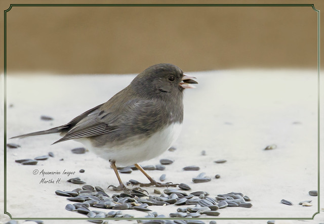 Junco And Spring