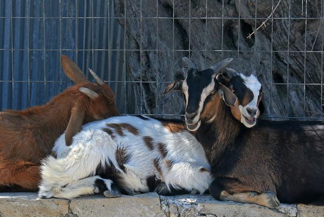 Snuggling Goats