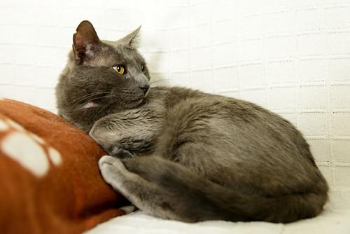 Gris, gato Cruce con Cartujo tímido y tranquilo positivo a inmunodeficiencia nacido en Agosto´15, en ADOPCIÓN ESPECIAL. Valencia. 34712333045_9fd67b92ce